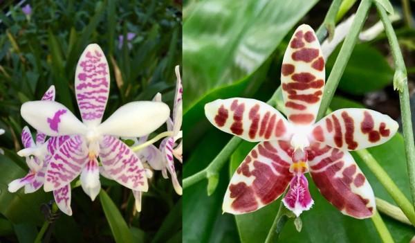 Phalaenopsis Taida Snow x Macasar