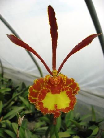 Oncidium (Psychopsis) Mariposa