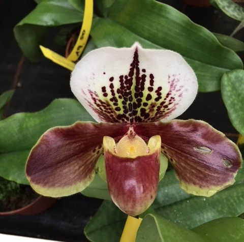 "Paphiopedilum Winston Churchill ""Indomitable"" x Doll´s Kobold"