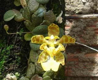 Oncidium (Psychopsiella) limminghei