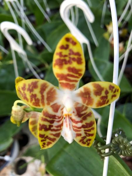 """Phalaenopsis venosa """"Chestnut"""" x Macassar """"Freckles"""""""