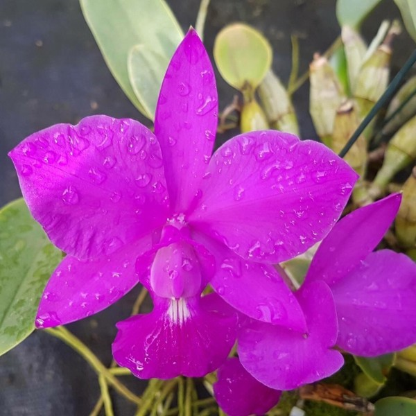 Cattleya walkeriana rubra