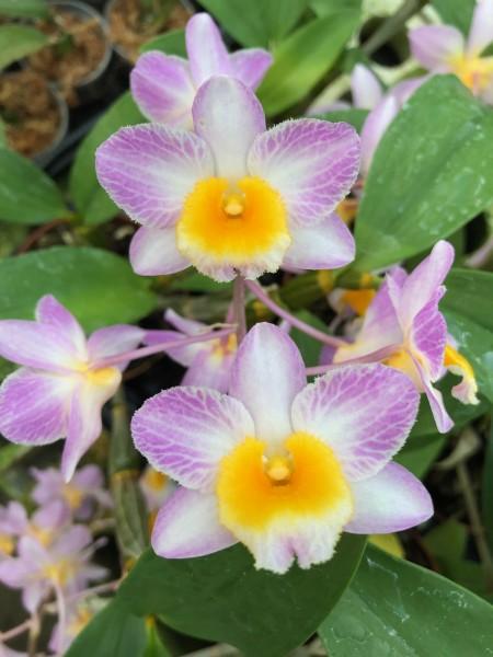 Dendrobium Mem. Christa Erdmann x Mousmee