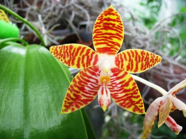 """Phalaenopsis amboinensis """"Nicole"""" AM/AOS x amboinensis """"Flava"""""""