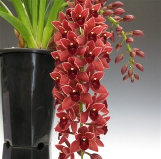 "Cymbidium Dorothy Stockstill ""Forgotten Fruit"""