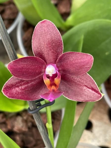 "Phalaenopsis Summer Morn ""Shari Mowlavi"" AM/AOS"
