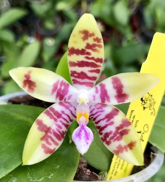 """Phalaenopsis Tetrasambo """"Yellow"""" x Tying Shin Fly Eagle"""