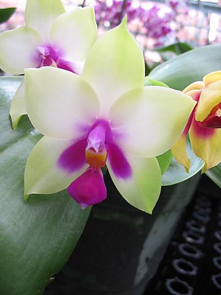 "Phalaenopsis bellina ""987"" x sib"