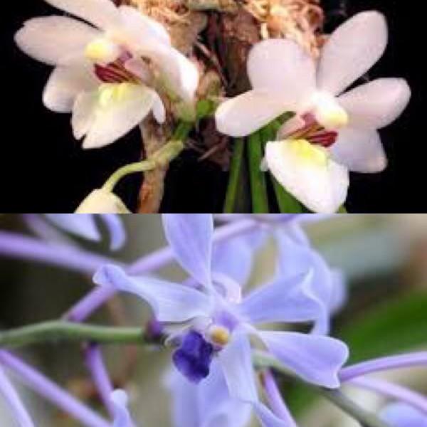 Holcoglossum rupestre x Vanda coerulescens