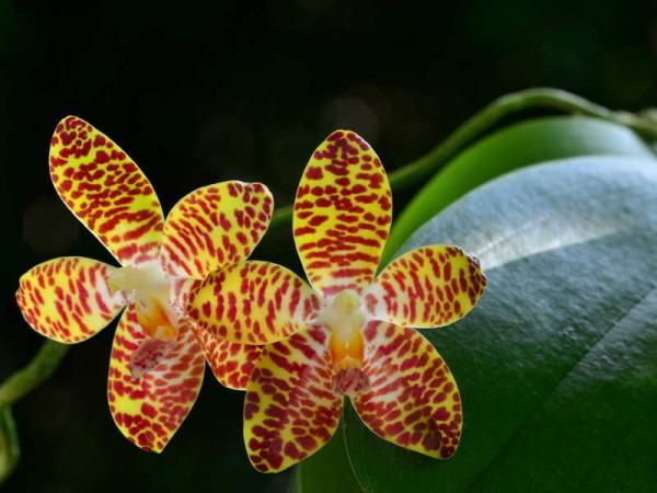 Phalaenopsis David Lim