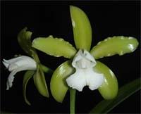 """Cattleya leopoldii var. Alba """"Bela Vista"""""""