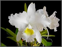 Cattleya lueddemanniana var. Alba x self