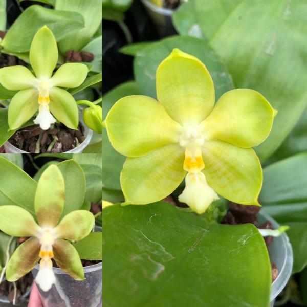 Phalaenopsis Yungho Gelb Canary x Tsay´s Evergreen
