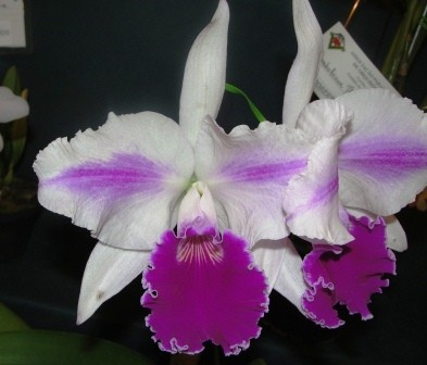 """Lc. Excelsior """"The Globe"""" FCC/RHS"""