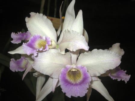 "Laelia purpurata ""Russeliana"""