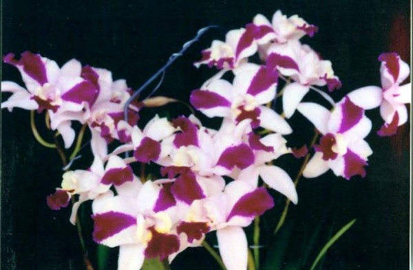 "Lc. Purple Cascade ""Parfum Beauty"""